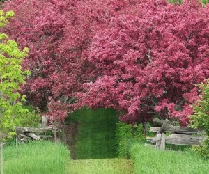 """An allée of 'Profusion' crabapples and a """"window"""" cut in a hedge at Lilactree Farm."""