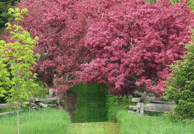 "An allée of 'Profusion' crabapples and a ""window"" cut in a hedge at Lilactree Farm."