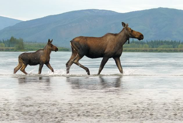 A female moose and her calf wade in the river shallows.