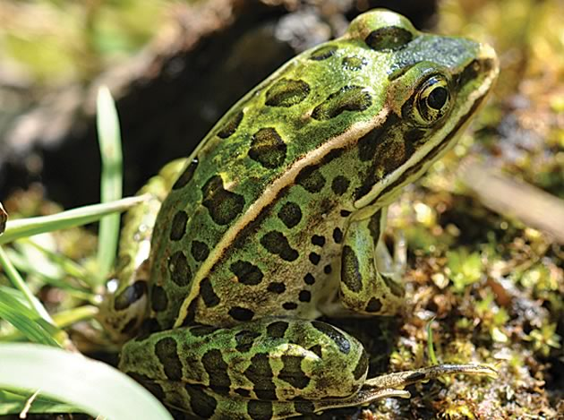 Northern leopard frog eating - photo#8