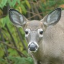 Are deer eating your gardens?