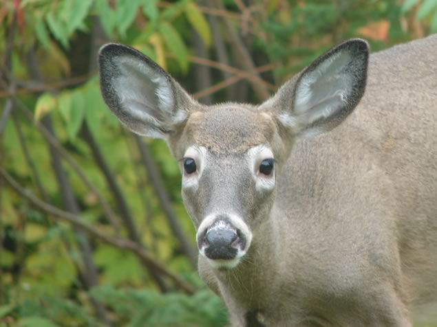 white tailed deer head shot
