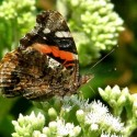 red admiral on boneset