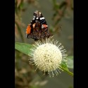 red admiral on buttonbush