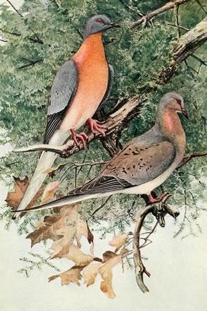 Frontispiece from a volume af articles, The Passenger Pigeon, 1907 (Mershon, Editor)