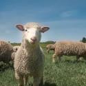 The Amiable Shepherd: Bert Nieuwenhuis