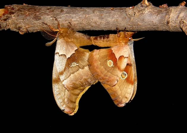 polyphemus moths mating