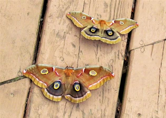 polyphemus moths size variationsl