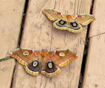 polyphemus moths