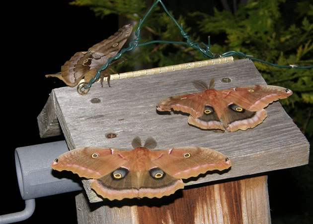 three male polyphemus moths