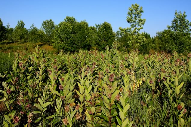 Forks of the Credit milkweed and advancing trees