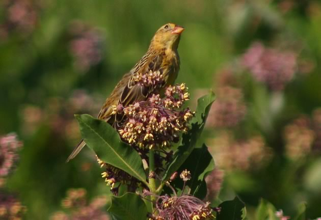 bobolink female atop milweed