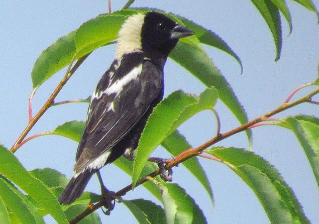 bobolink male closeup
