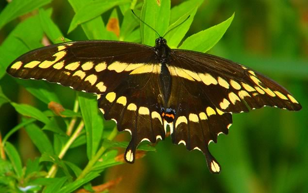 5-giant-swallowtail-butterfly