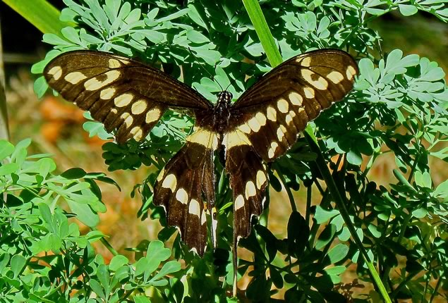 6-tattered-giant-swallowtail-visiting-rue