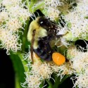 The real deal - bumblebee gathering pollen