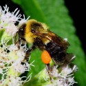 Bumblebee on boneset