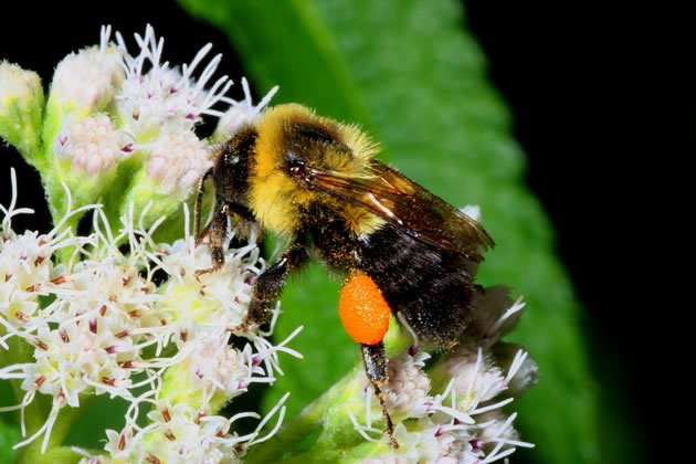 4bumblebee on boneset