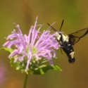 Snowberry clearwing , a bumblebee mimic