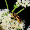 Yellowjacket - a real wasp