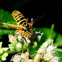 A fly mimicing a wasp