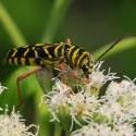 Locust borer beetle mimicing a wasp