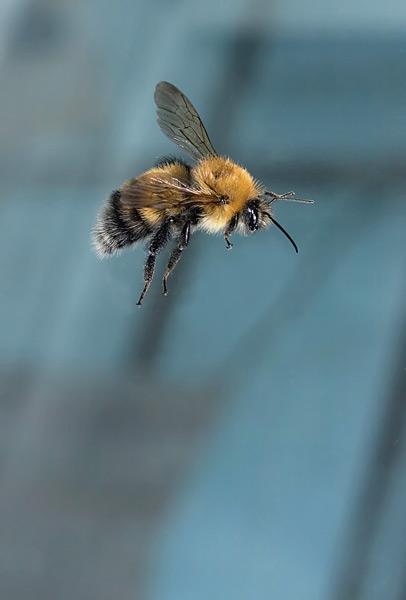 pollen_Bumblebee42