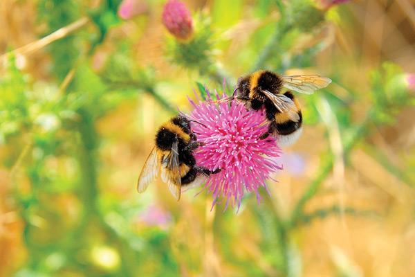 pollen_Bumblebees100