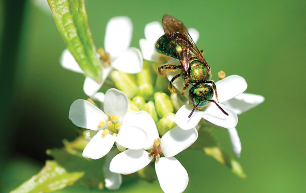 pollen_GreenMetallicBee70