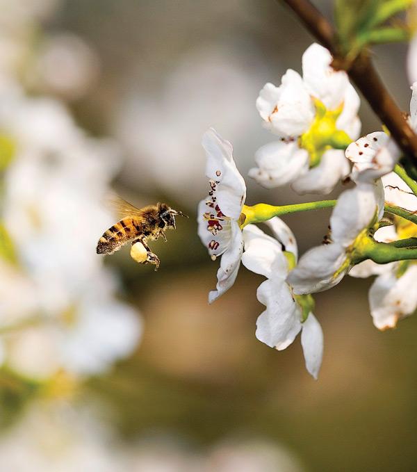 pollen_HoneyBee100