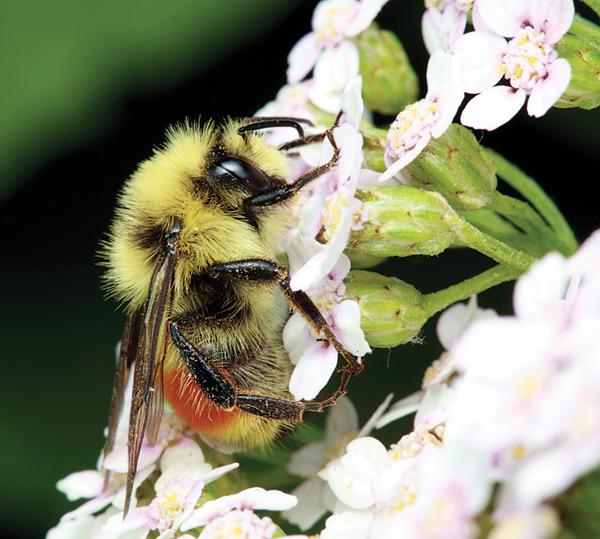 pollen_RedTailedBumblebee42