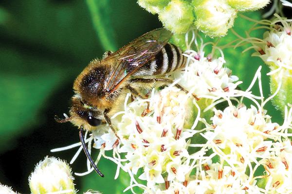 pollen_SweatBeeDS_65