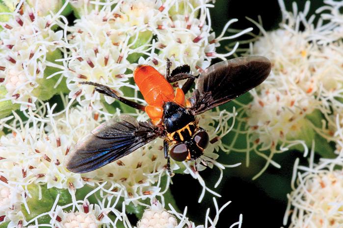 pollen_TachinidFlyDS_45