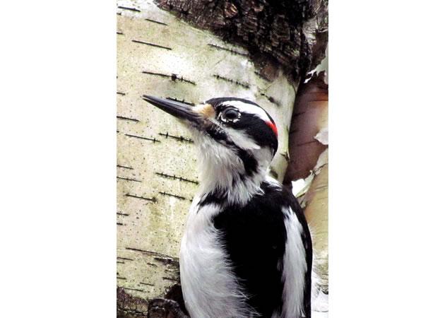 1hairy woodpecker head and beak close up