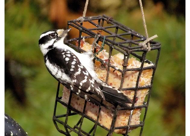 4downy woodpecker female  feeding on suet