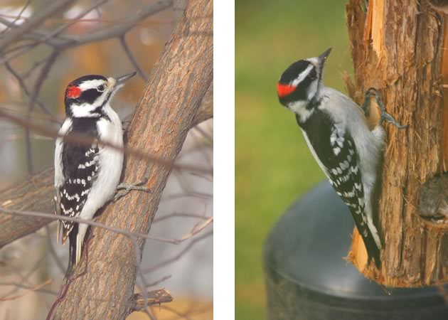 Hairy woodpecker male on left, downy on right