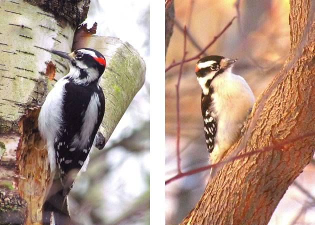 6hairy woodpecker male and downy on right