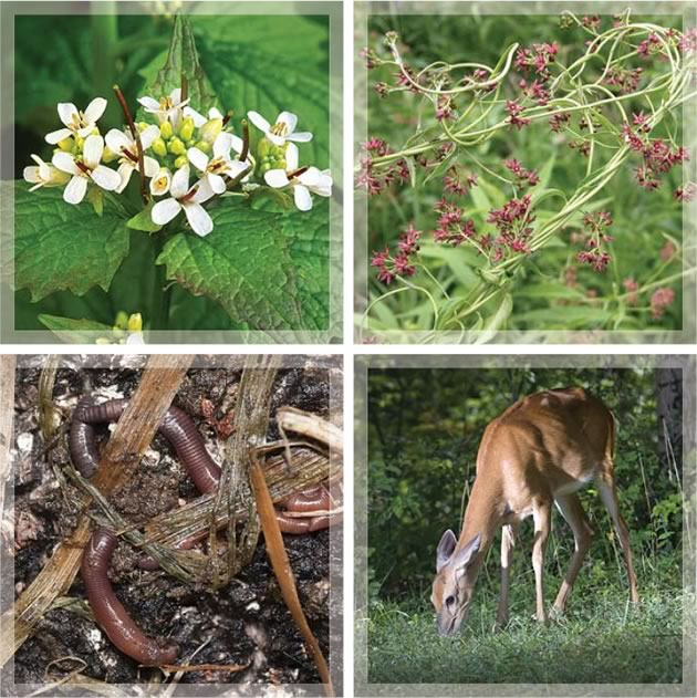 Garlic mustard (top left), dog-strangling vine (top right), introduced worms and deer browsing are all threats to wildflowers.