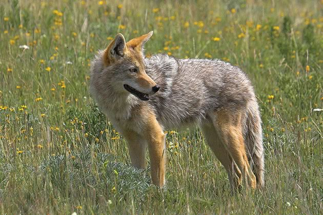 If you encounter a coyote, Coyote Watch Canada advises following fi ve steps: stop; stand still; shout, wave arms and throw something; back away slowly; share the experience – others may learn from it. Photo by Robert McCaw.