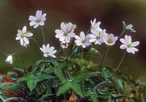 A floriferous hepatica with deep purple or pink blooms can be breathtaking. Photo by Robert McCaw.