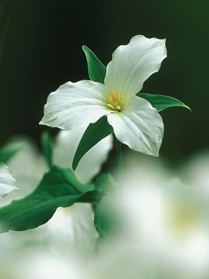 Trilliums and many other wildflowers employ ants to disperse their seeds. Photo by Robert McCaw.