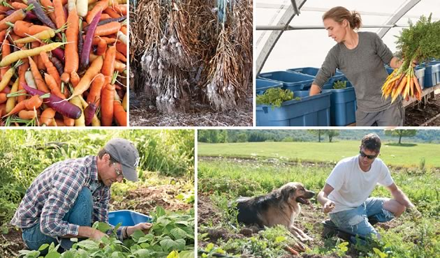 In the garden - Top right, Amy Ouchterlony divides carrots into CSA boxes. Bottom left, Rob Day in the bean patch. Lower right, Trevor Zurowski picks carrots with a friend. Photos by Pete Paterson.