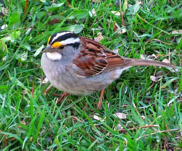 white thoated sparrow 3