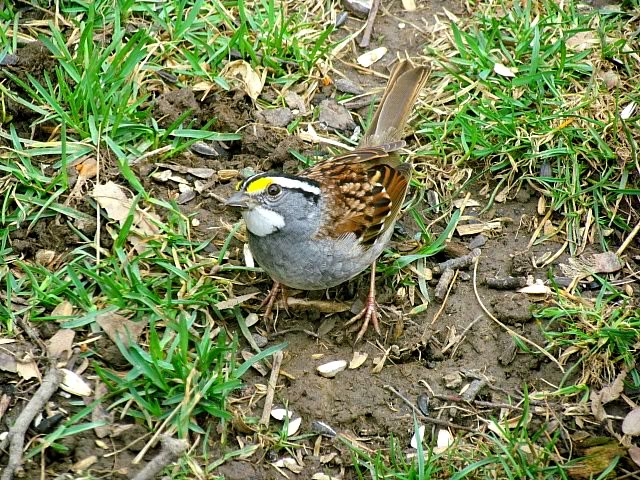 white throated sparrow 4