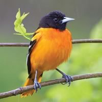 Baltimore Oriole. Photo by Robert McCaw.