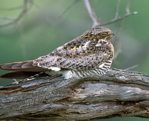 A nocturnal – and elusive – common nighthawk. Photo by Robert McCaw.