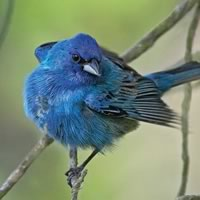 Indigo Bunting Male. Photo by Robert McCaw.