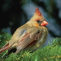 Northern Cardinal Female. Photo by Robert McCaw.