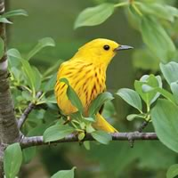 Yellow Warbler Male. Photo by Robert McCaw.