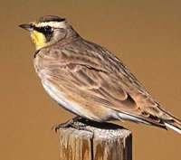 Horned Lark. Photo by Robert McCaw.